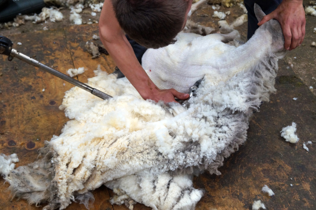a Shetland crofter clipping his sheep. Photo by Oliver Henry