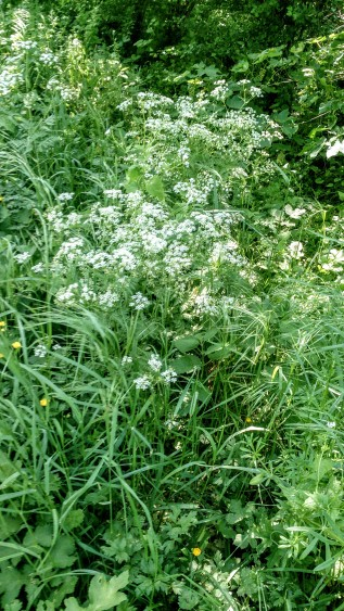 Cow parsley by the hedge.